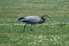 wetland(0.0), stork(0.0), ibis(0.0), animal(1.0), fauna(1.0), little blue heron(1.0), ciconiiformes(1.0), heron(1.0), beak(1.0), bird(1.0), wildlife(1.0),