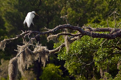 Egret by CharlestonRocks