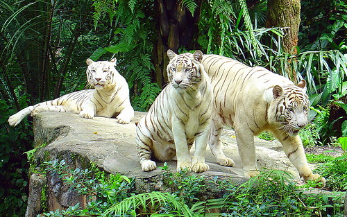 White Tigers, Singapore Zoo {Explore}