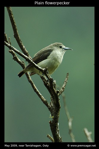 Plain Flowerpecker 2