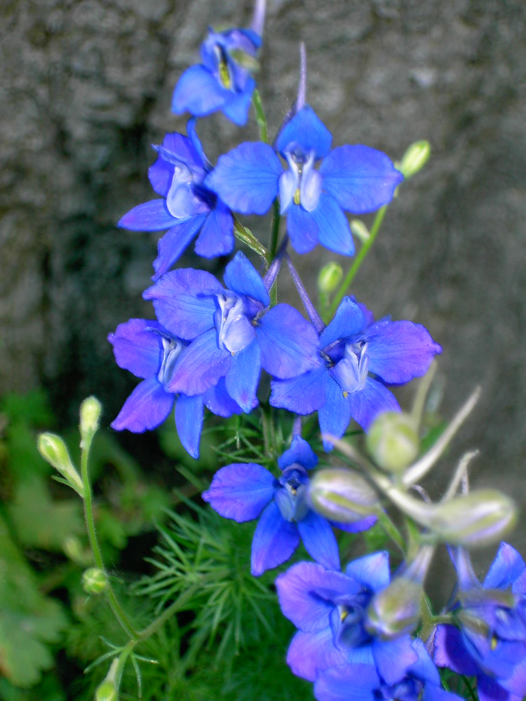 Image result for larkspur consolida ajacis