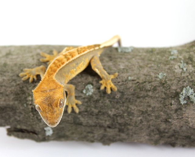 how to find geckos in your backyard