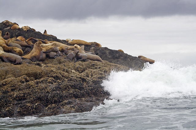 {wild isle wednesday} Steller Sea Lion