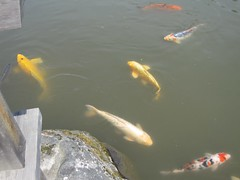 fish, fish pond, koi, pond,