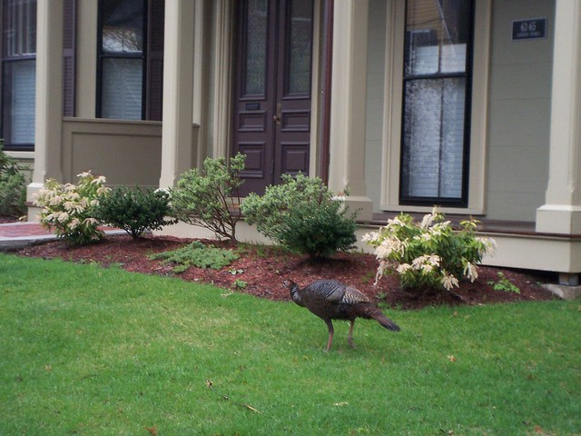 wild turkey heads to front door.