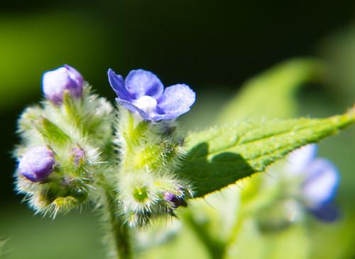 Bugloss flowering