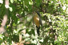 Mangrove Cuckoo, Soufriere, St Lucia, 2005-12-22 (2 of 6).jpg