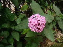 blossom(0.0), hydrangea serrata(0.0), hydrangea(1.0), shrub(1.0), flower(1.0), leaf(1.0), lilac(1.0), wildflower(1.0), flora(1.0),