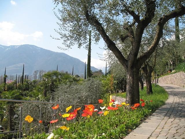 Olivenbäume entlang der blühenden Hänge