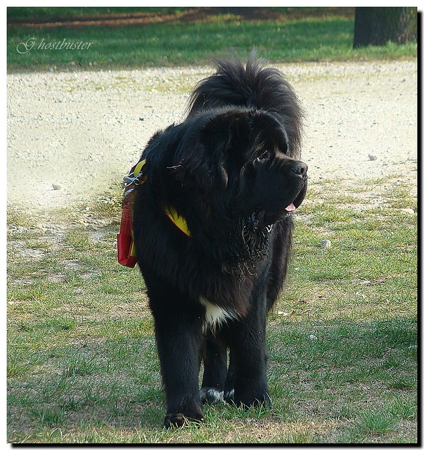 ... da salvataggio - Newfoundland Dog rescue - a photo on Flickriver
