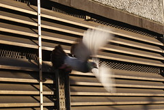 A pigeon leaving its home on the roof of the North Unisys Tower, Stonebridge.