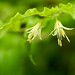Hooker's fairybells - Photo (c) Brent Miller, some rights reserved (CC BY-NC-ND)