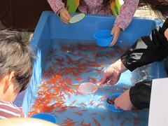 Goldfish scooping; 金魚すくい