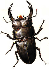 japanese rhinoceros beetle(0.0), arthropod(1.0), scarabs(1.0), animal(1.0), invertebrate(1.0), insect(1.0), fauna(1.0), beetle(1.0),
