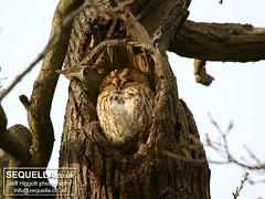 Roosting Tawny Owl