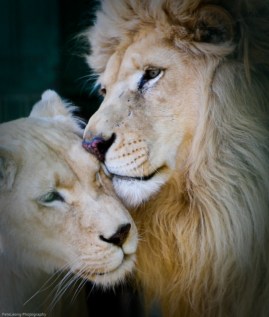 Lion and lioness tattoo catfish