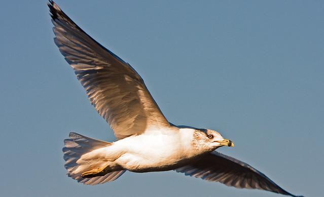 Bird Gull_0311.jpg