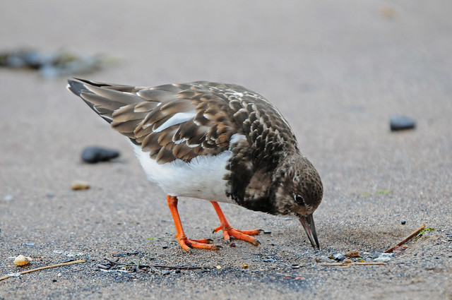 Turnstone (Arenaria interpres) on the Beach at Whitby