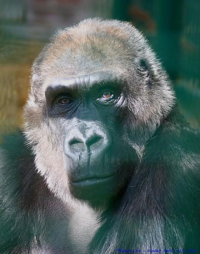 england hairy animal monkey kent gorilla primate westernlowlandgorilla gorillagorillagorilla explore500 howlettswildanimalpark