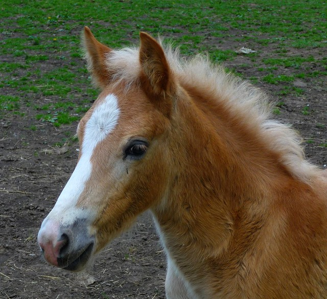 Nino A Haflinger Foal Flickr Photo Sharing