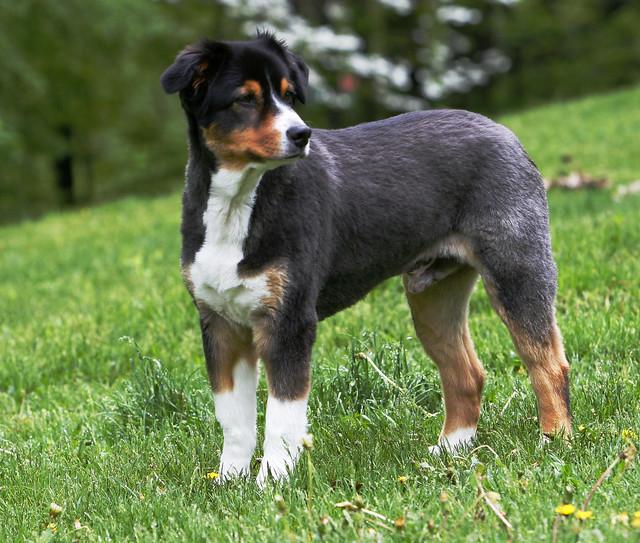 ... dog breeds short haired medium sized dog breeds irish dog breeds