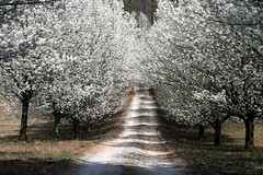 Pear Trees blooming in Conyers