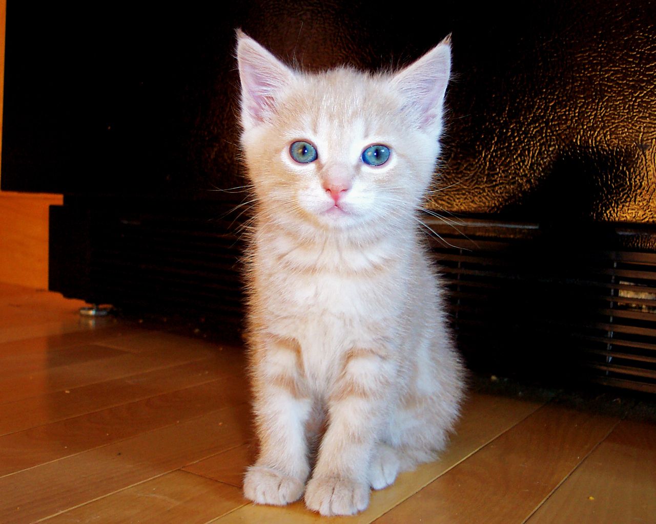 Pekoe Blue Cat