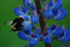 flower, plant, insect, macro photography, wildflower, flora, lupin, bluebonnet, bee, blue, petal,
