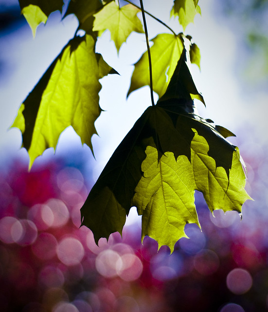 For the love of bokeh (and transparent leaves)