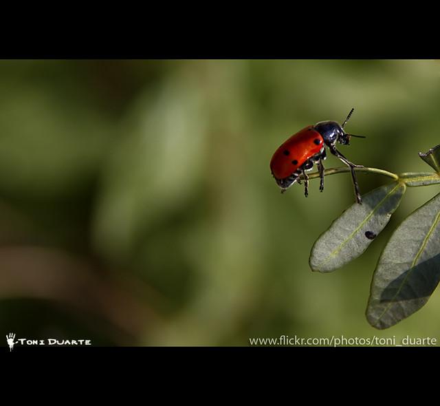 Coccinellidae o Mariquita