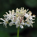 white clintonia - Photo (c) Annkatrin Rose, some rights reserved (CC BY-NC-SA)