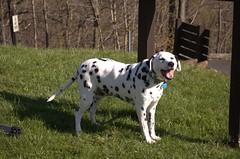 dog breed, animal, dog, pet, guard dog, dalmatian, carnivoran,