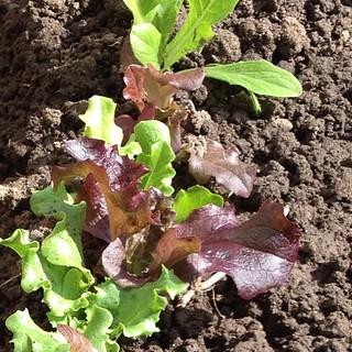 Baby leaf salad leaves.