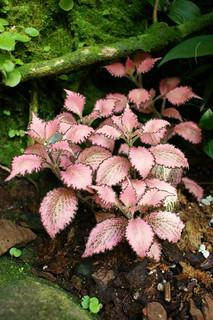 Fittonia argyroneura 'Frankie' (pink nerve plant)
