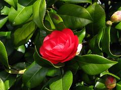 shrub, garden roses, flower, leaf, plant, flora, green, camellia japonica, theaceae, petal,