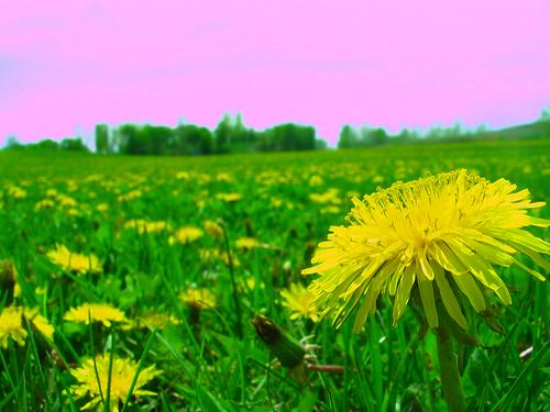 flowers macro windsor dandelions maldenpark