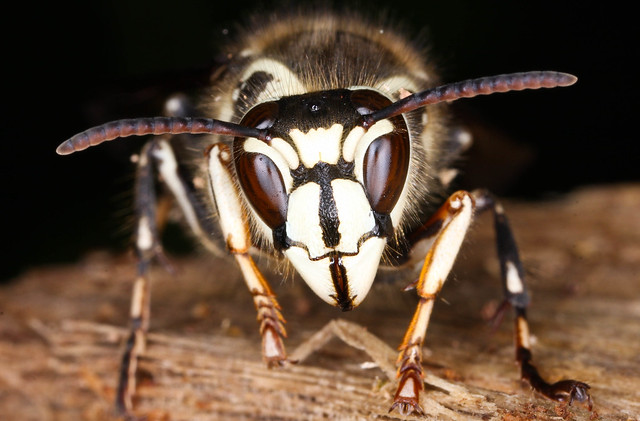 Bald-faced hornet, Dolichovespula maculata - a photo on ... Queen White Hornet