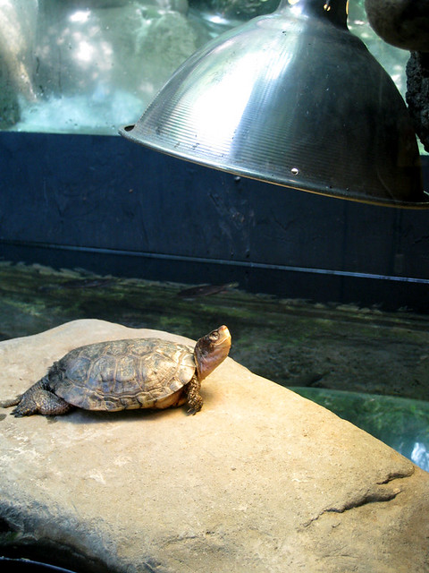 Grinning Turtle, Basking in Sun Lamp Craning up its little ...