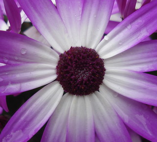 Bright purple radial