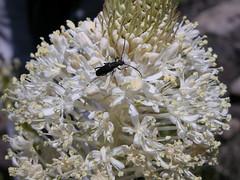 Liliaceae - Xerophyllum tenax - Bear-grass - Bonny Doon