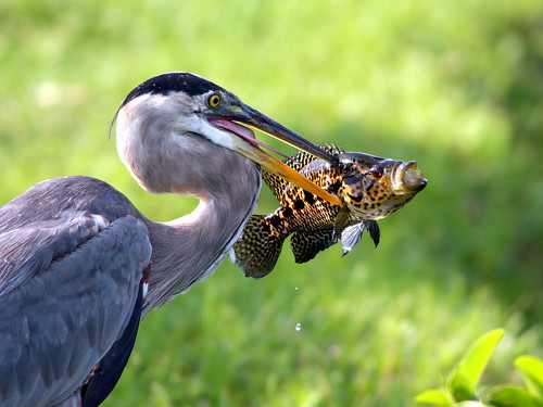 Great Blue Heron Catches Cichlid 20090528