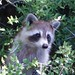 Raccoon looking for a handout, Cat Point, Apalachicola Bay, Florida