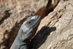 Chuckwalla (Sauromalus ater)