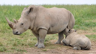 Mother Rhino nursing baby