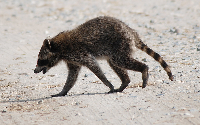 Rabid Raccoon | Or so I'm assuming. | By: Billtacular ... Raccoon With Rabies
