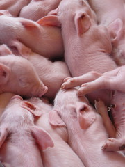 A mass of very pink piglets