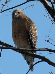 Red-Tailed Hawk On The Trolley Line Trail