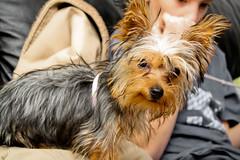 puppy(0.0), norfolk terrier(0.0), dog breed(1.0), animal(1.0), dog(1.0), pet(1.0), australian silky terrier(1.0), mammal(1.0), biewer terrier(1.0), norwich terrier(1.0), australian terrier(1.0), yorkshire terrier(1.0), terrier(1.0),