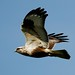 Rough Legged Hawk