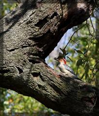 animal, perching bird, branch, tree, nature, fauna, trunk, woodpecker, bird, wildlife,